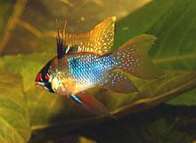 Pillangó tarkasügér - kék ramirezi