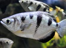 Jávai lövőhal (Toxotes jaculatrix)