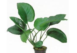 Extra tartós és igénytelen vizinövény - Anubias