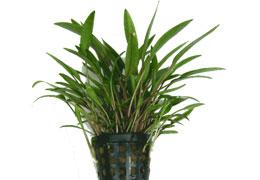 A legszebb előtéri növények - Cryptocorine-k, vizikelyhek